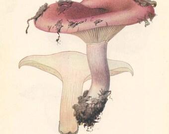 ANTIQUE MUSHROOM Double-Sided Book Plate Russula Hygrophorus and Finnish Hydnum New York State Museum Handbook 1935
