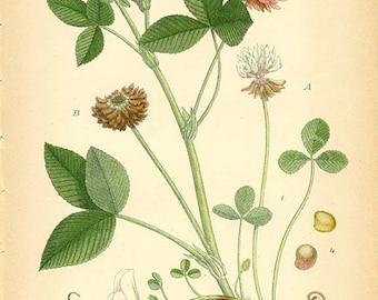 ALSIKE - Botanical book plate 328