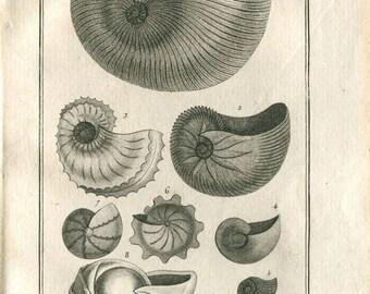 1802  Marine Animals Engraving by Denys-Monftort,  Argonautites, Orbulites,  Buffon