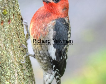 Northwest Red Breasted Sapsucker,  Bird Art, Outdoor Life, Nature, Photography