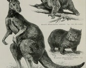 1897 Antique print of AUSTRALIAN ANIMALS, FAUNA. Marsupials. Tasmanian tiger. Mardo. Kultarr. Tasmanian devil... 119. years old plate