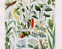 Vintage Fruit Print - Vintage Fruit, Fruit, Fruits, Vegtables, Veg, Fruit and Vegetables, Veg Print, Art and Collectibles, Vintage Prints