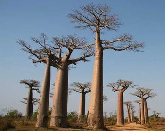 Adansonia Madagascariensis - 5 Seeds - Madagascar Baobab Tree - Excelent Bonsai!!