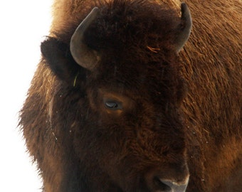 "Bison Photography, ""Set of Bison Portraits at Yellowstone National Park"" Prints, Bison Photo Yellowstone, Winter Bison, Bison Note Cards"