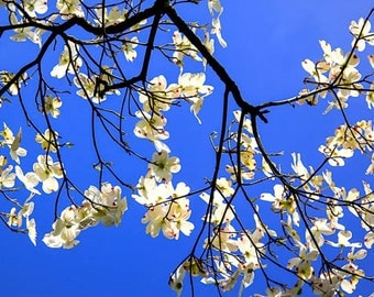 Pennsylvania Dogwood Tree Blooming in the Spring, Photography, Fine Art Print, FREE SHIPPING