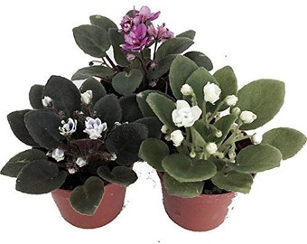 """Miniature African Violet - 3 Plants/2"""" Pot (Free Shipping!)"""