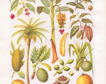Vintage Banana Lithograph - Double Sided Tropical Fruit Print from the 1950's