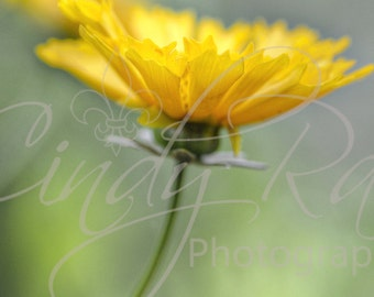 Flower, Photography, Print, Affordable, Under 10 Dollars,  8x10,Yellow, Macro, Soft, Floral