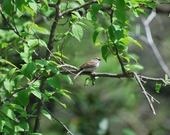 Digital Download of Chipping Sparrow, birds, still life, photography, Spizella passerina