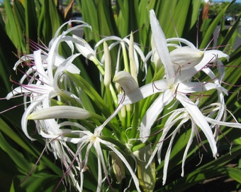 White Spider Lily / Crinum - 1 potted plant, Comb Ship