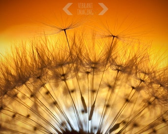Dandelion Art, Dandelion Photography, Dandelion Sunset, Dandelion Print, Zen Garden, Sunset Art,  Home Office Decor, Peach, Orange, Wall Art