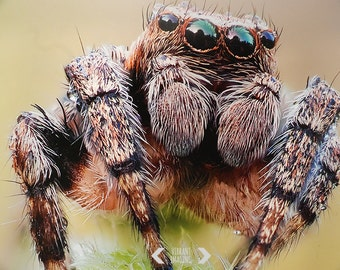 Nature Photography, Jumping Spider Close Up, Spider Art, Animal Art, Wild Life Photography, Nature Art, Fine Art Print, Wall Art, Home Decor