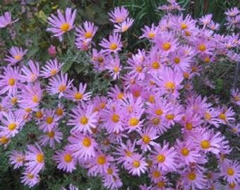 "Clara Curtis Mum (Chrysanthemum ""Clara Curtis"")-perennial-live plant"