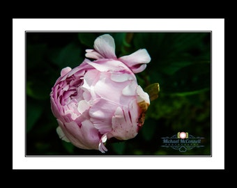 Peony Rose (Print Only)