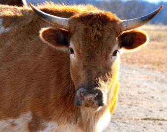 Longhorn Cow During an Oklahoma Sunset, Country Photogography