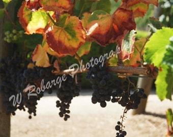 Vinyard Harvest