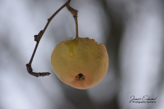 Nature, Winter Fruit on Branch, Frost, Nature Photography, Yellow, Frost, Cold, Snow