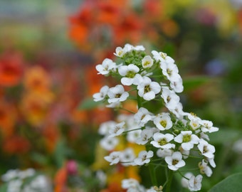White Flowers In In Colorful Flower Garden Image #1