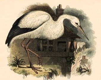 Antique White Stork Print 1843