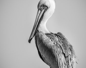 Pelican in Classic Pose  B&W