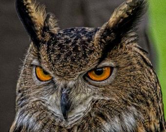 Old Eagle Owl