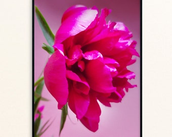 Pink Peony, Floral Photos, Peonies Color Photography, Flower Close-up Photography, Spring Flowers, Nature Photography - Instant Download