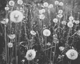 Limited edition 11x14 inch print of dandelion puffs