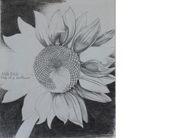 Study of a Sunflower
