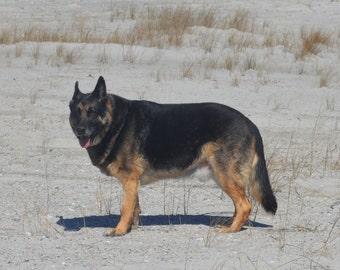 German Shepherd Dog on Beach Photograph