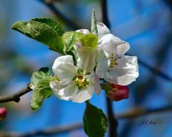 White Crabapple Flower