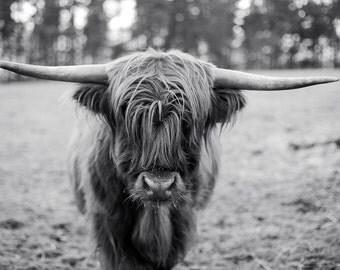 Highland Cow #4