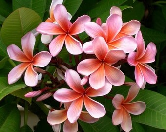 Plumeria Roll-On Perfume