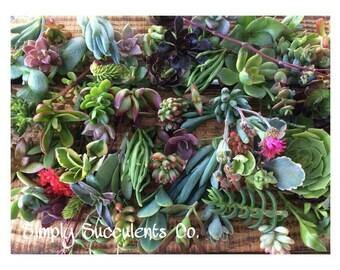 80 Succulent Cuttings
