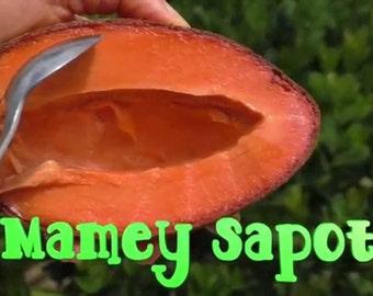3 GIANT MAMEY SAPOTE seeds *rare* *exotic* *organic* Pouteria sapota, zapote