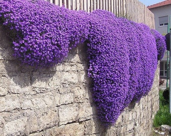 Aubretia Royal Violet or Pink (500 SEEDS)