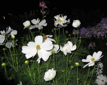 white flowers at night Print floral Photography, colorful, bright, romantic, feminine, flower photograph for living room
