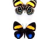 Real Callicore aegina Butterfly, spread for your project or laminated or unmounted