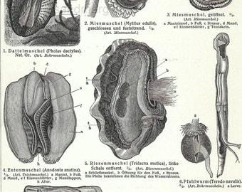 1898 Chart of Molluscs Mussels Seashells Original Antique Lithograph