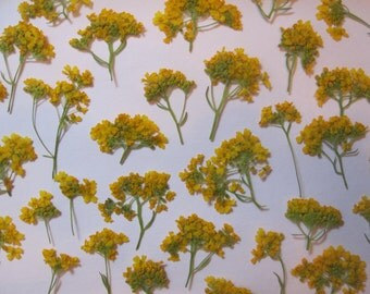 Dried Pressed Flowers for Crafting - Real Natural Yellow Alyssum