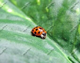 Cute Little Ladybug Lady Bug Insect Portrait Original Fine Art Photography Print