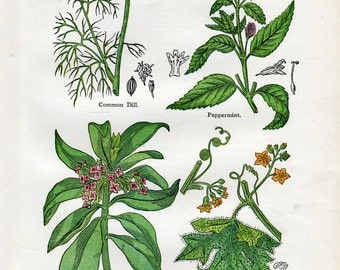 Antique Print of Medicinal and Culinary Herbs, Dill, Peppermint, Briony and Laurel