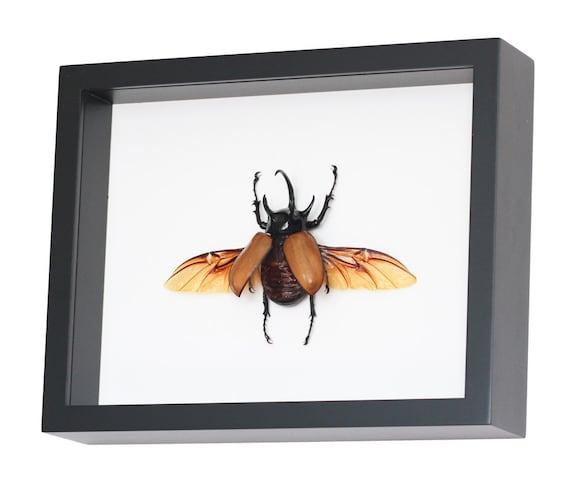 Framed Rhinoceros Beetle Museum Insect Display Eupatorus gracilicornis