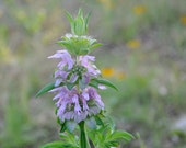 Lemon Bee Balm Seed // Monarda Citriodora  // Organically Grown // 50 Seeds