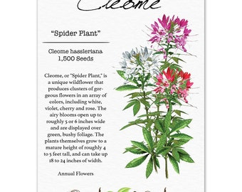 Cleome Seeds, Spider Plant Mixture (Cleome hassleriana) Non-GMO Seeds by Seed Needs