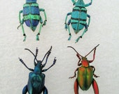 Tropical New Guinea Beetle Collection - SHIP FREE