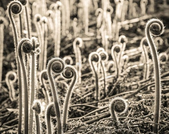 fiddleheads, 8x10 fine art black & white photograph, nature
