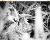 65% OFF Wildlife Photography - Black and White Art - Cottontail Bunny Rabbit - Hiding - 8x10 Fine Art Photo