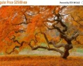 SALE 20% OFF Japanese Maple Tree in Autumn, Landscape Photograph, Fall Foliage, Nature, Tree of Life, Orange, Art Print, Zen, Woodland, Old