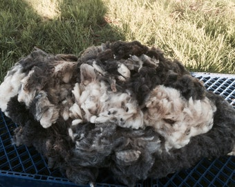 Buttercup's soft natural Jacob sheep fleece