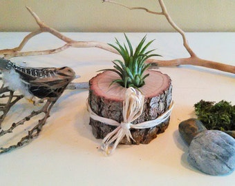 TREASURY ITEM - Air Plant Terrarium - Holiday gift - Rustic Wedding decor - Wedding favors - Air plants - diy projects